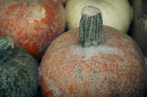 Frosty Pumpkins Photography Art   Sage & Balm Photography