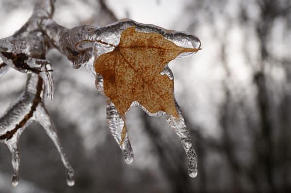 Icy Maple