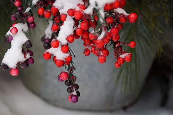 Berries And Boughs Photography Art | Sage & Balm Photography