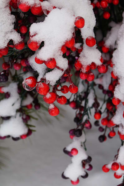 Wintry Berries Photography Art | Sage & Balm Photography