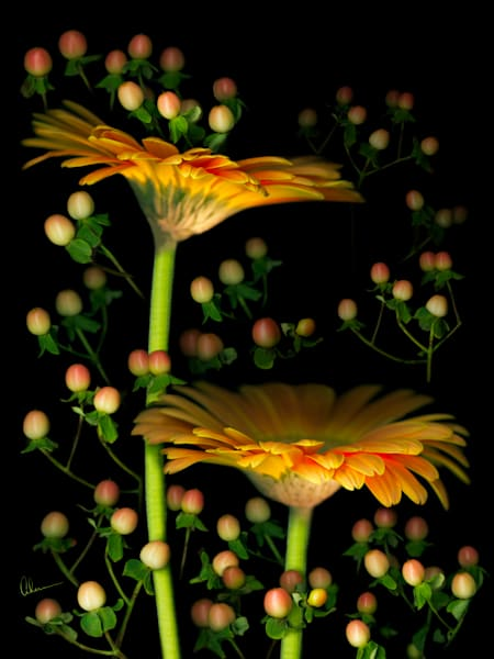 Gerbera Daisies with Hypericum. Contemporary ultra high resolution wall art. A print of an original artwork by Mary Ahern Artist.