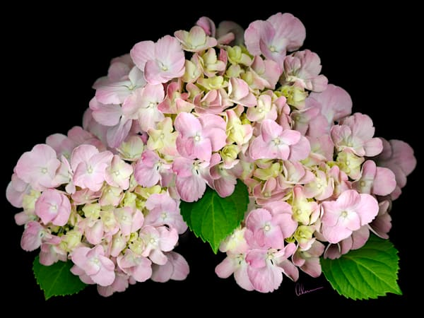 Pink Hydrangea on Black Background art print by Mary Ahern the Artist.