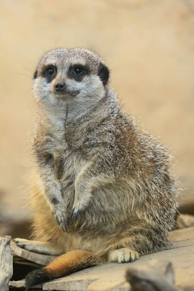 Meerkat Sit