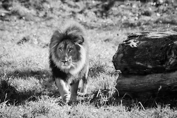 Lion Stroll