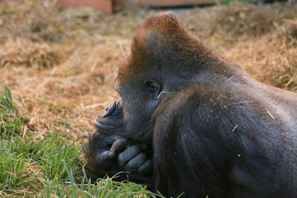Gorilla Thought