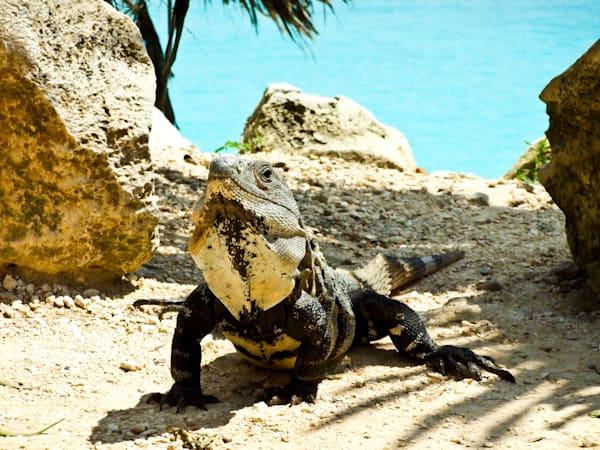 Iguana Stare
