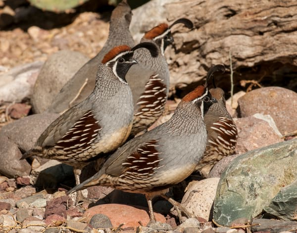 Gambel's quail group