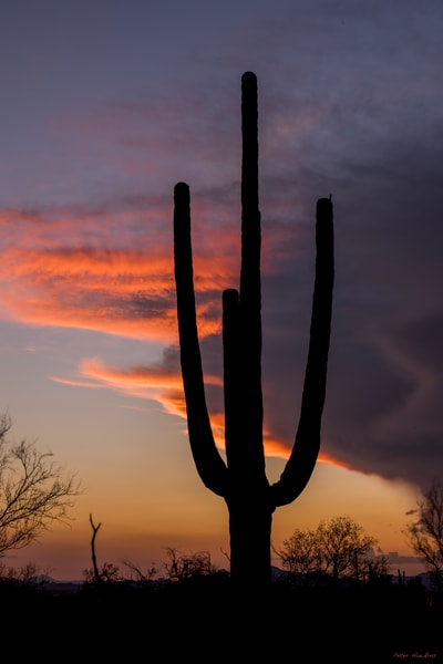 saguaro national park, tucson, arizona, saguaro cacti, sunset
