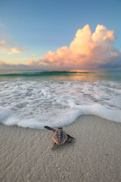 Baby Loggerhead Sea Turtle fixing to touch the water for the first time along the Emerald Coast of Florida  | Fine Art Photography on Canvas, Paper, Metal, & More
