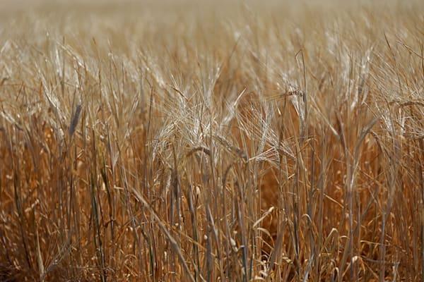 Barley closeup #1