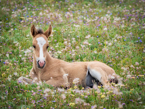 Pryor Mountain Wild Mustang Renegade - Fine Art Photography - JP Sullivan