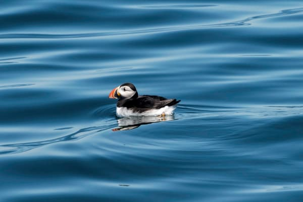 Puffin on silky blue water in side view, photograph art print