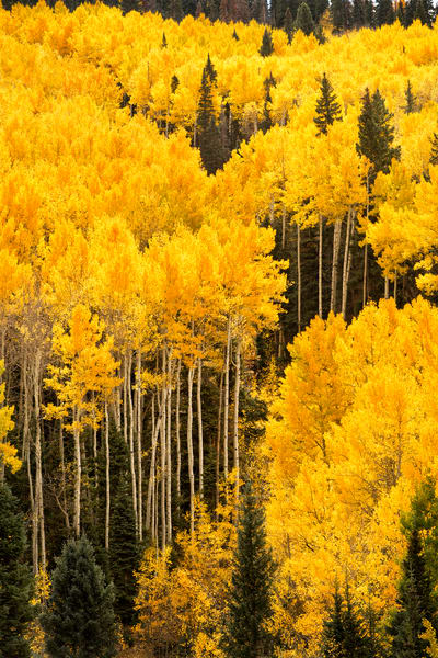 A yellow aspen trees on the side of the mountain.