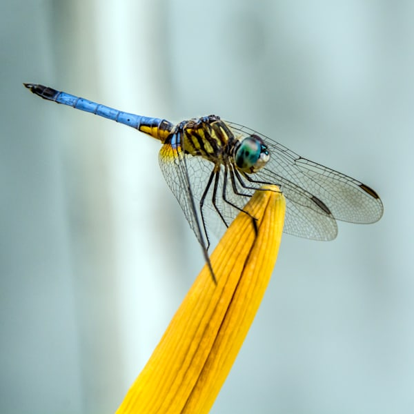 Dragon fly sitting on edge of yellow flower in art photograph