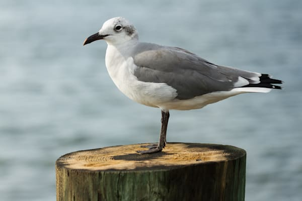 Fine Art Photographs of Chincoteague Seagulls by Michael Pucciarelli