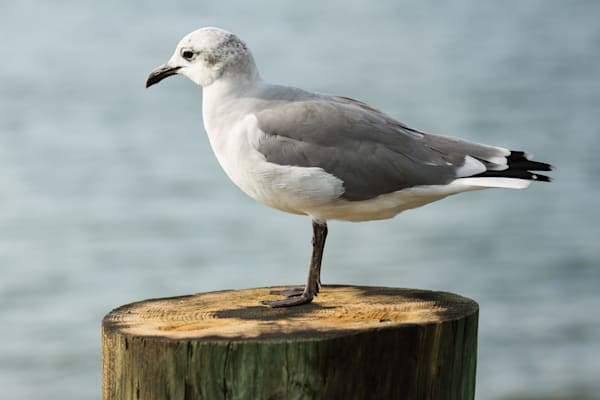 A Fine Art Photograph of A Patient Seagull in Chincoteague by Michael Pucciarelli