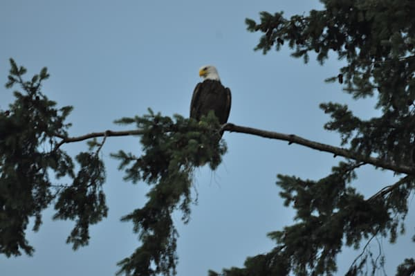 American Bald Eagles Perching - MH Photography