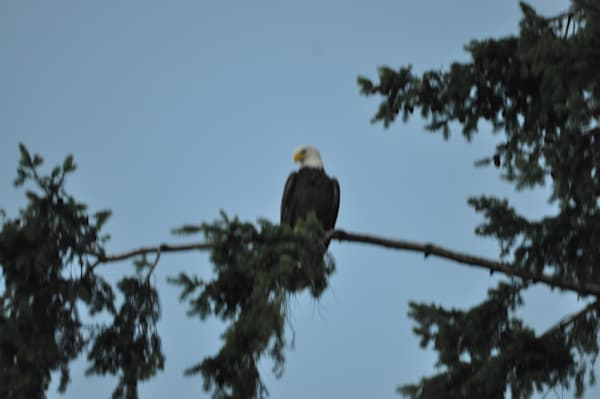 Single Eagle Perched on Tree - MH Photography