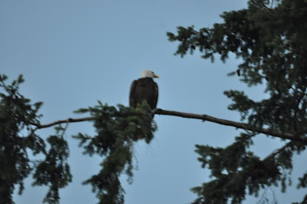Solitary Eagle Looking Over Shoulder - MH Photography