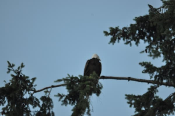 Single Eagle Perching - Product #1304233 - MH Photography