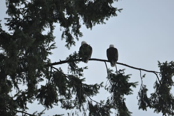 Two Eagle Perching - Product #1304238 - MH Photography