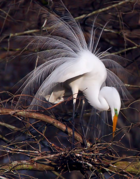Great Egret In Display Photography Art | Jim E Johnson Photography