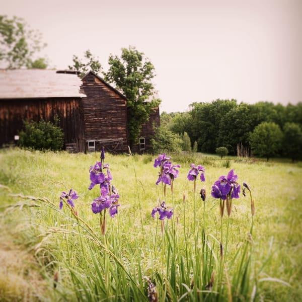 Purple Irises photograph - for sale as fine art prints
