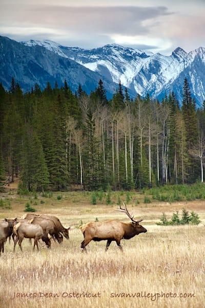 Banff Bull Elk Photography Art   Swan Valley Photo