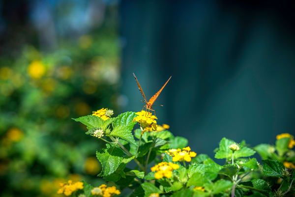 Butterfly Victory print for sale | Susan J Photography