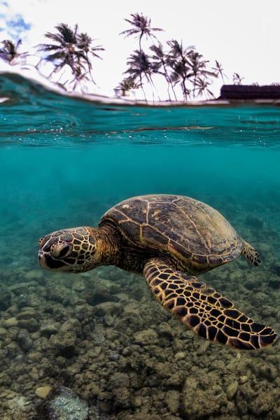 Hawaii Photography | Honu Below the Surface by Leighton Lum