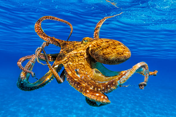 Marine Life Photography | Monster Tako by Leighton Lum