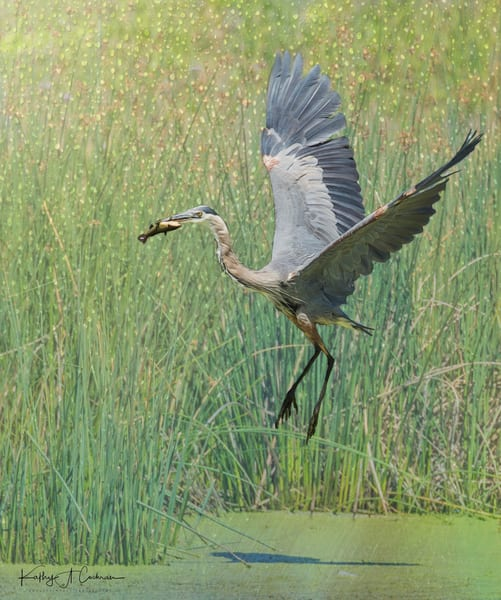 Blue Heron Lifting Off with Fish