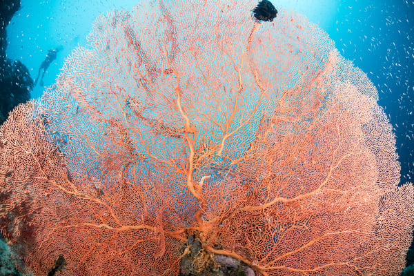 Sea Fan Glassfish, Solomon Islands