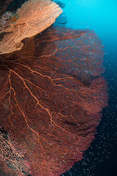 Sea Fans Glassfish, Solomon Islands