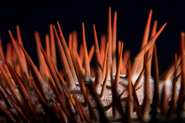 Crown of Thorns Sea Star Spines, Solomon Islands