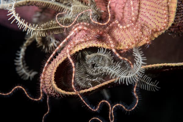Brittle Star Patterns, Solomon Islands