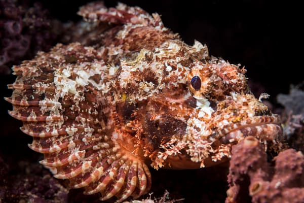 Papuan Scorpionfish, Solomon Islands