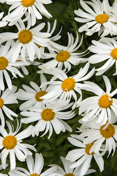 daisies, Iceland, abstracts, floral