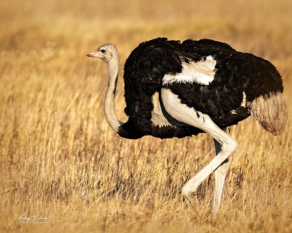 Ostrich Portrait Photography Art | Images2Impact
