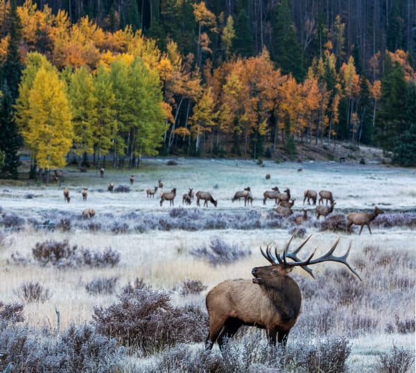 Rocky Mountain Bull Elk In Autumn fine art photograph by Mike Jensen