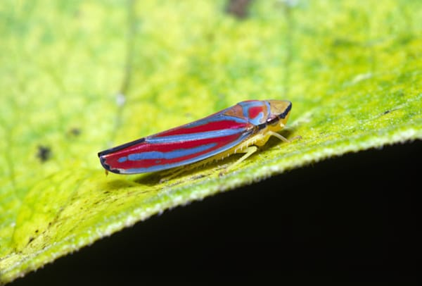 Colorful feeding Leafhopper photograph for sale as Fine Art.