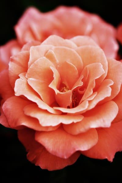 Apricot Blush Rose