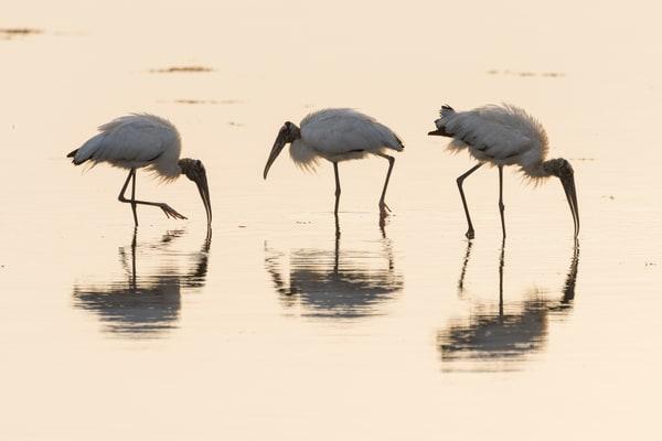 Wood Stork Reflections, Sanibel Island, Florida