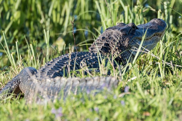 American Alligator in the Grass, Damon, Texas