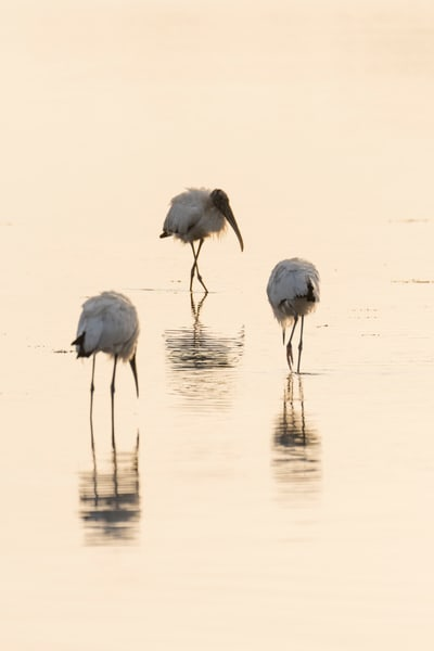 Wood Stork Reflections 3, Sanibel Island, Florida