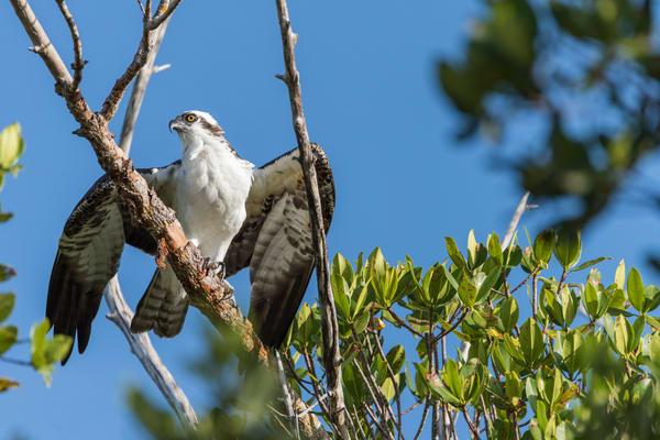 Osprey Spreading its Wings, Sanibel Island, Florida