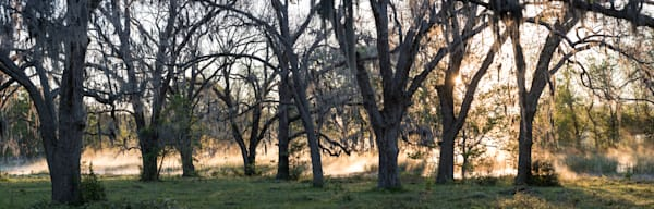 Live Oak Trees at Sunrise Pano, Damon, Texas