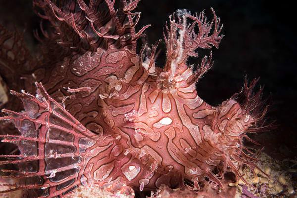 Weedy Scorpionfish, Great Barrier Reef, Australia