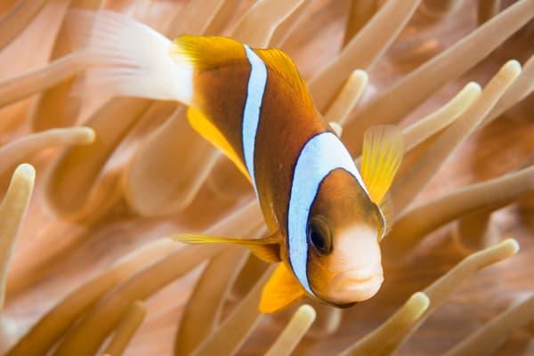 Orange-finned Anemonefish Swimming, Great Barrier Reef, Australia