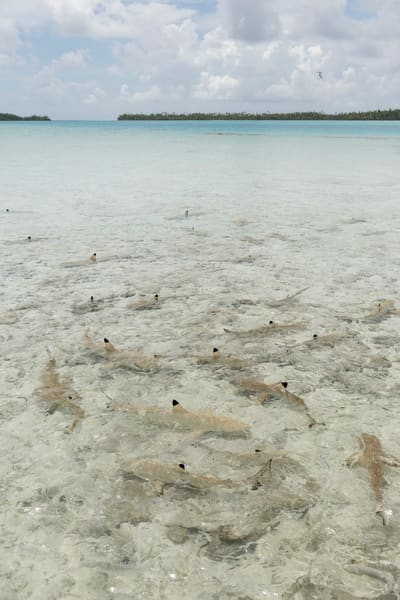 Blacktip Reef Sharks, Blue Lagoon, French Polynesia